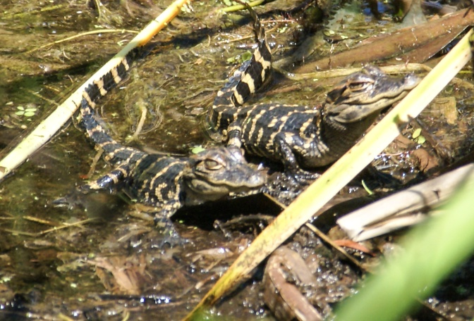 Baby Gators and Where to Find Them
