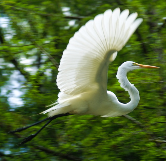 Florida, Know Your Birds: The Great Egret