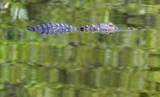 Alligator Slu 2