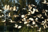 Flock of ibises at Lakes Park