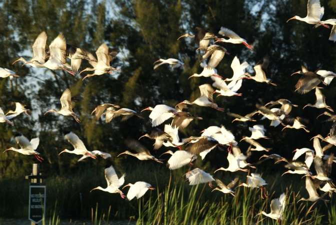 Florida, Know Your Birds: The Ibis