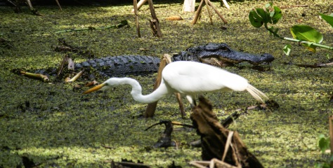 American alligators and great egrets coexist at the Corkscrew Swamp Preserve near Naples.