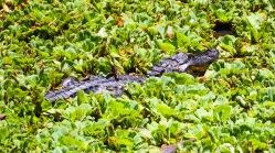 An American alligator at the Corkscrew Swamp Preserve near Naples, Florida.
