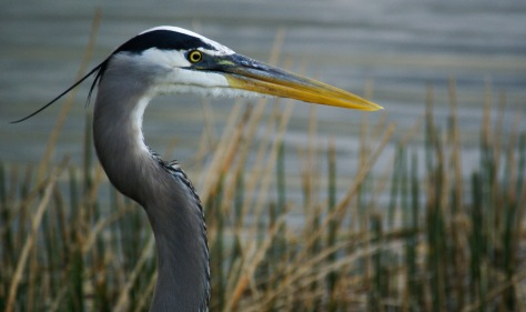 A great blue heron relaxes by a lake in Fort Myers, Florida.