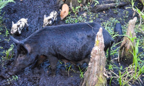 Baby pigs gather near their mother at the Six Mile Cypress Slough Preserve in Fort Myers.
