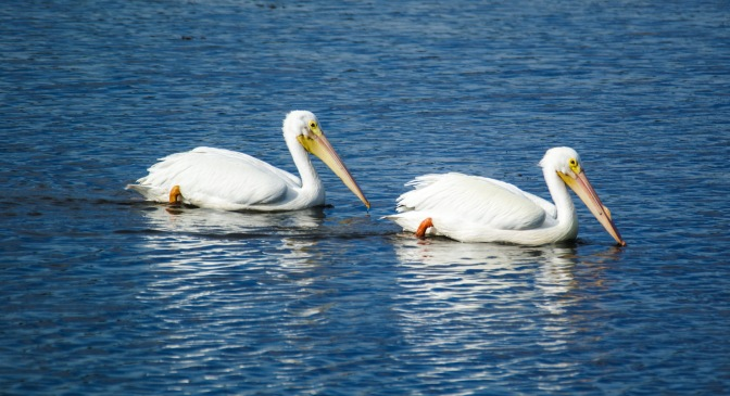 Florida, Know Your Birds: The White Pelican