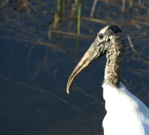A wood stork wades in a Florida pond.