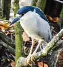 A black crowned night heron searches for food.