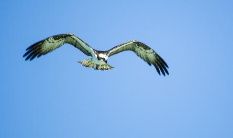 An osprey soars above Barefoot Beach.