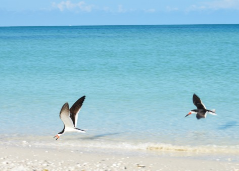A pair of black skimmers fish on Marco Island.