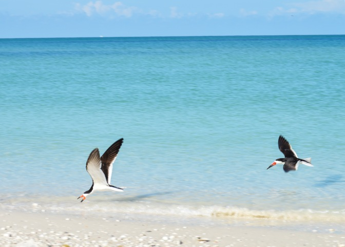 Florida, Know Your Birds: Black Skimmer