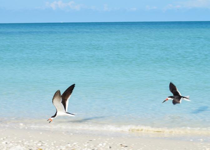 Florida, Know Your Birds: Black Skimmer