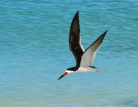 Black skimmers aer nesting in Florida.