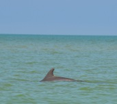 Dolphin Sanibel