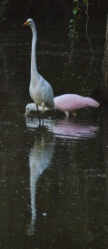 ff egret and spoonbill