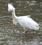 ff snowy egret