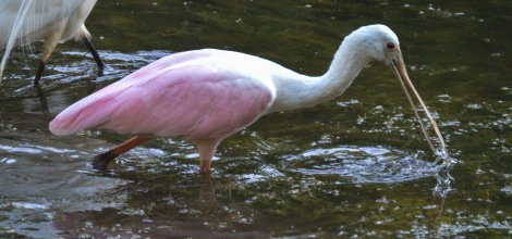ff spoonbill close