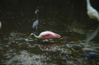 ff spoonbill in the middle