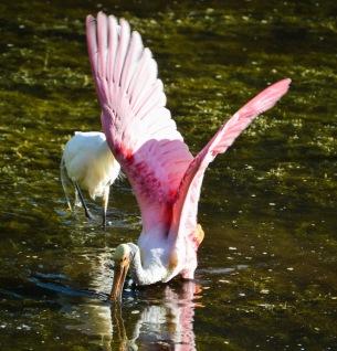 ff spoonbill wings