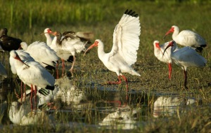 Ibises flock to Lakes Park in the evening.
