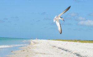 A black skimmer soars over Tigertail Beach on Marco Island. The skimmer is one of several bird species nesting right now.