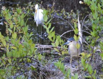 A great egret and a black crowned night heron share a spot at otter pond at the Six Mile Cypress Slough Preserve in Fort Myers.
