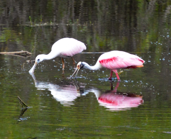 Roseate Spoonbill – Just Visiting