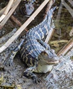 American alligator - juvenile