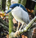 clack crowned night heron