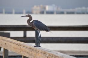A reddish egret perches on the fishing pier on Sanibel Island.