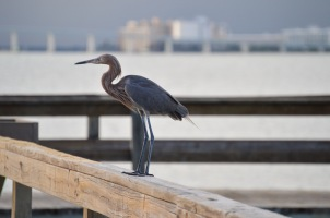 A reddish egret perches on the fishing pier on Sanibel Island.
