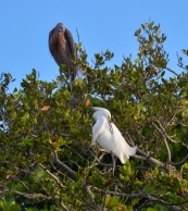 Snowy egret and reddish egret