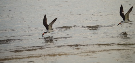 bunche black skimmers