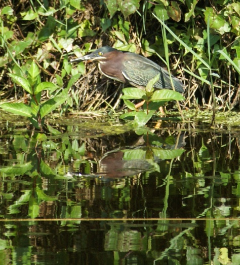 A green heron wades along the shore.