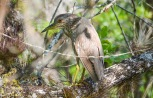 black crowned night heron - juvenile
