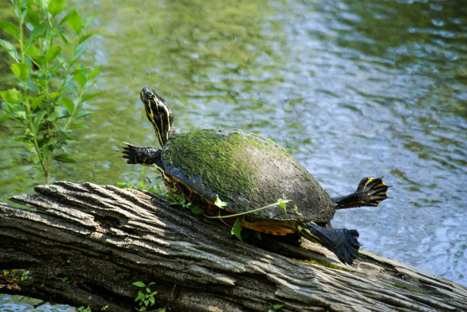 Land and Sea: Turtles, Terrapins, and Tortoises