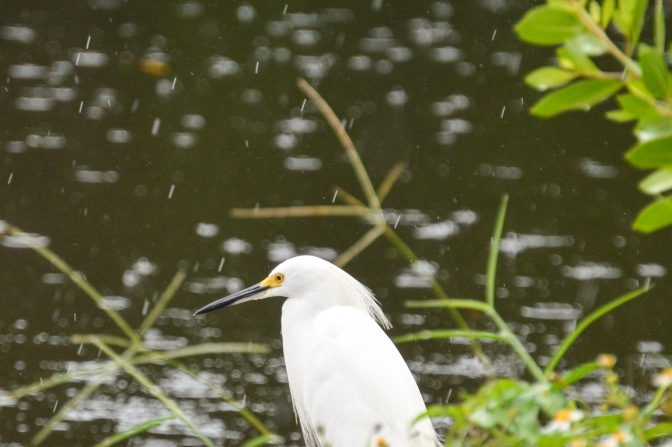 Florida, Know Your Birds: Snowy Egret